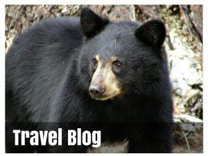 Blog title black bear