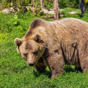 Canadian Wildlife - Grizzli bear