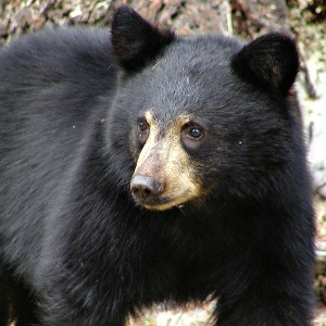 Canadian wildlife - curious black bear