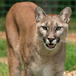 Canadian Wildlife - Mountain Lion