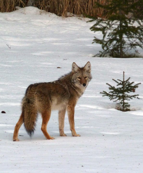 Canadian Wildlife: What You Need To Know