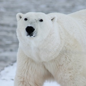Canadian Wildlife - Polar bear