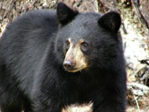 Canadian Wilderness - Bear dangers