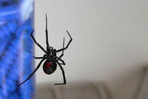 Black widow - dangers