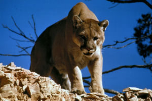 Cougars - danger in the wilderness