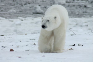 Polar Bear dangers - Canadian Wildlife