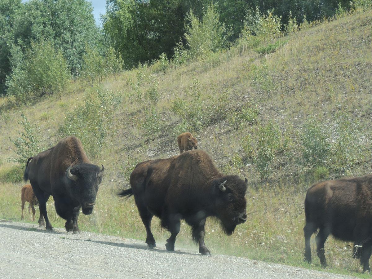 Buffalo Alaska Highway