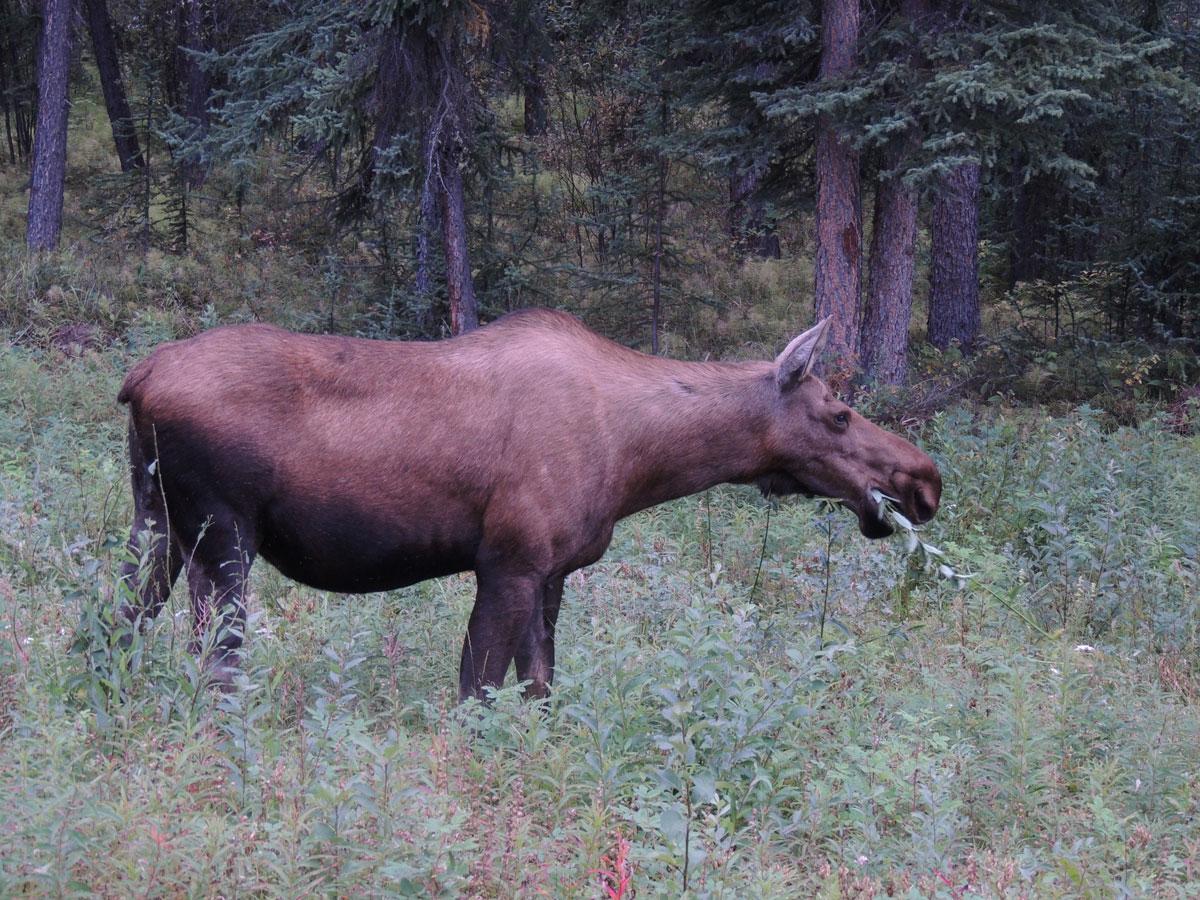 Mooso Yukon Canada