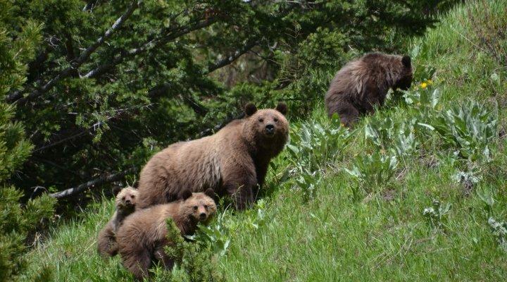 Horse Pack Trip - Bears