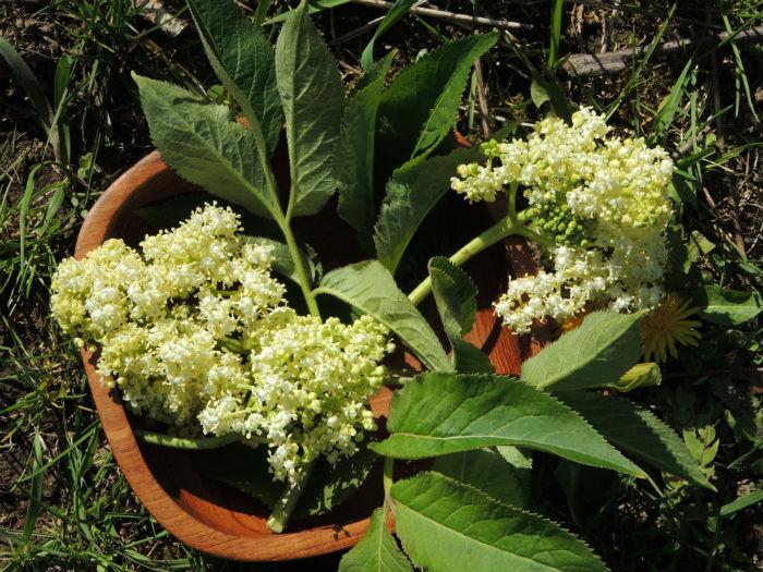 Wild edible plants - Elder
