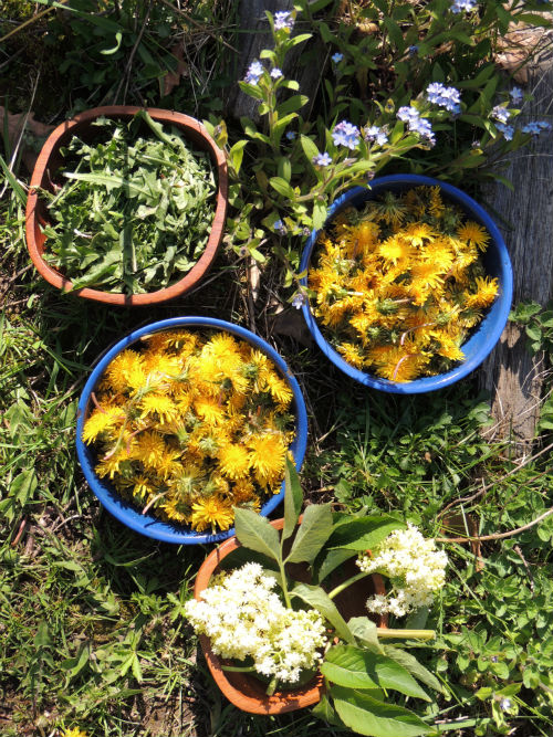 Wild edible plants - foarging in spring