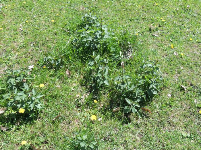 Wild edible Plants - Stinging Nettle