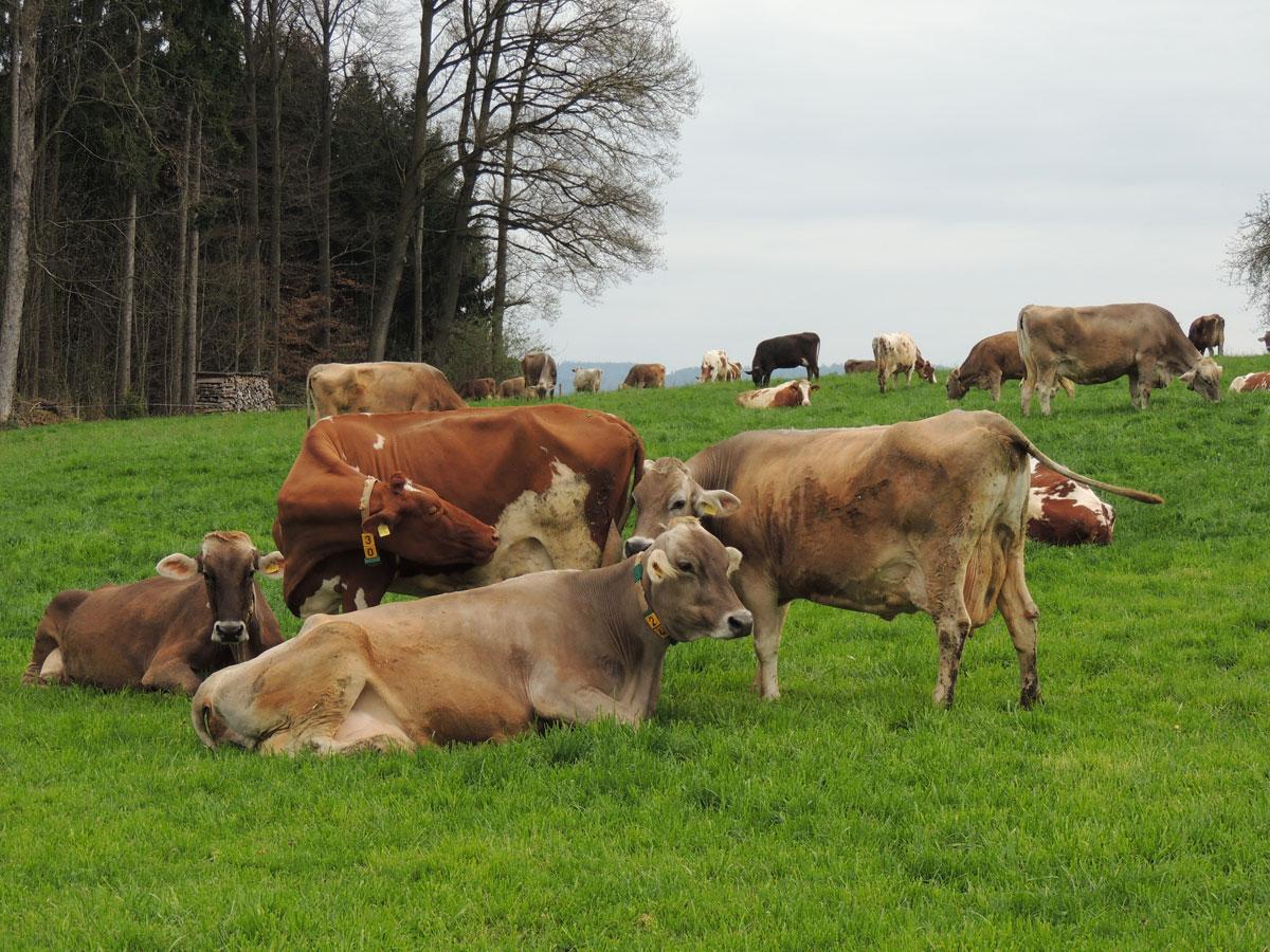 Dairy Cows grazing in Switzerland