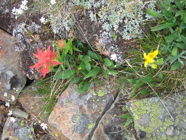 Wildflowers on Vista Pass Pinnacles Okanagan BC